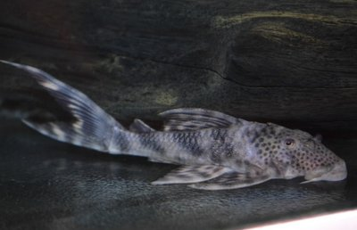 L208 Ancistomus Sp.